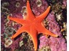 Photo of Red Sea Star - Mediaster aequalis